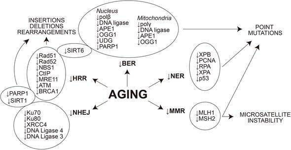 DNA Repairs Delays Age-Related Disease