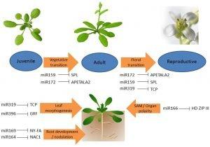 Flowering rooted in gene regulatory