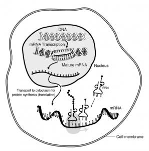 Way to Cure Disease through Messenger RNA