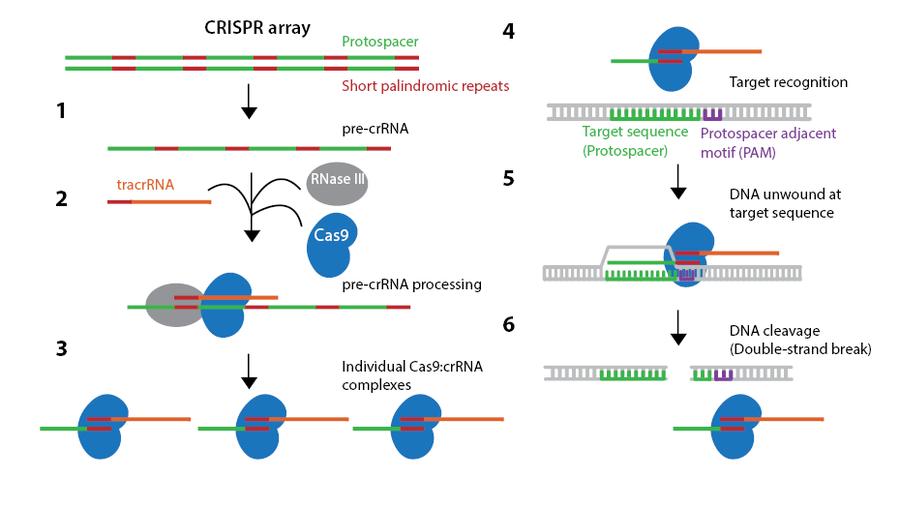 Z Genome in Bacteria Invading Viruses